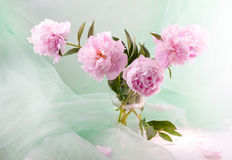 Beautiful pink peonies Royalty Free Stock Image