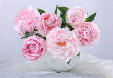 Beautiful pink peonies Stock Photography