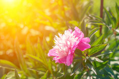 Beautiful pink peonies on a sunny green bokeh background. Stock Photo
