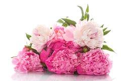 Beautiful pink peonies Royalty Free Stock Image
