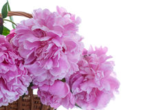 Beautiful pink peonies Royalty Free Stock Photo