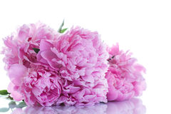 Beautiful pink peonies Royalty Free Stock Photos