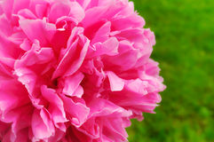 Beautiful Pink Peony Royalty Free Stock Image
