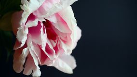 Beautiful pink peony. On a black background