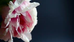 Beautiful pink peony. On a black background
