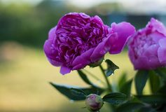 A beautiful pink peony bloomed in the garden royalty free illustration