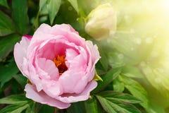 Beautiful pink peony Stock Photography