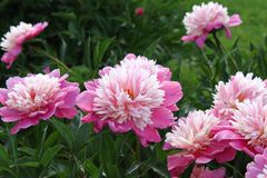 Beautiful pink peony Royalty Free Stock Photo