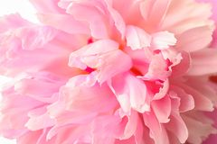 Free Beautiful Pink Peony Flower As Background Stock Image - 149105281