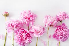 Beautiful pink peony flower background Royalty Free Stock Image