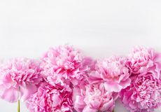 Beautiful pink peony flower background Royalty Free Stock Photography