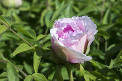 Beautiful pink peony flower blossom growing in the garden Royalty Free Stock Photos