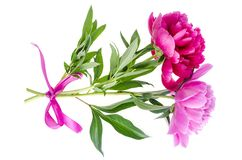 Beautiful pink peony flower isolated on white background. royalty free stock images