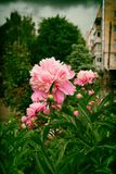 Beautiful pink peony flower in the open air in the city. Flower peony flowering on the background of a city street.Vintage photo of pink peony with vignette in royalty free stock image