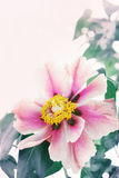 Beautiful pink peony Stock Images
