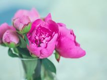 Beautiful pink peony flowers and buds against blurred background Stock Images