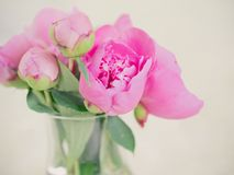 Beautiful pink peony flowers and buds against blurred background Royalty Free Stock Photo