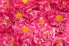 Beautiful pink peony flowers Royalty Free Stock Photo