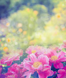 Beautiful pink peony on flowers garden background, close up Stock Photos