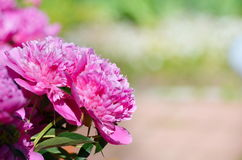 Beautiful of Pink Peony Flowers in the Garden. A beautiful blooming peony bush with pink flowers in the gardenBig pink flowers Stock Photos