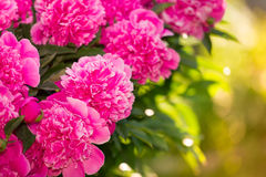 Beautiful of Pink Peony Flowers in the Garden Royalty Free Stock Photography