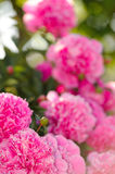 Beautiful Pink Peony Flowers in the Garden Stock Image