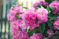 Beautiful Pink Peony Flowers Garden Still Life. Blooming Violet Flowering Plant. Shallow Depth Of Field Photo. Royalty Free Stock Images