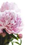 Beautiful pink peony flowers Royalty Free Stock Photography