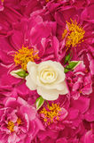 Beautiful pink peony flowers with white single rose Stock Photography