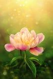 Beautiful pink peony on green background Stock Photo