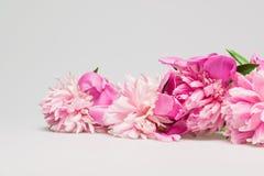 Beautiful pink peony Royalty Free Stock Photography