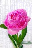 Beautiful pink peony Stock Image