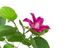 Beautiful pink petals of Purple Bauhinia Orchid tree known as Hong kong Orchid and Butterfly tree, tropical plant stock photography