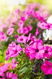 Beautiful pink petunia flowers Petunia hybrida stock image