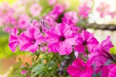 Beautiful pink petunia flowers Petunia hybrida stock photo