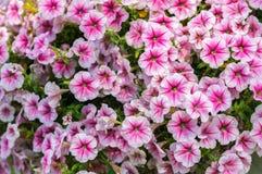 Beautiful pink Petunia Hybrida flower. Closed up of beautiful pink Petunia Hybrida flower in garden Stock Photography