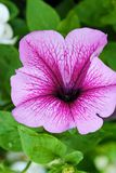 Beautiful pink Petunia in the summer garden Stock Photos