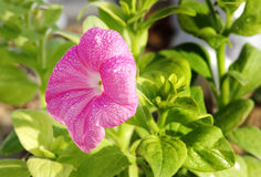 Beautiful pink Petunia with water droplets Stock Photo