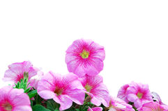 Beautiful Pink Petunias. Over White Background Stock Image