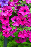 Beautiful pink petunias Royalty Free Stock Image