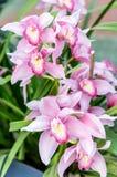 Beautiful pink phalaenopsis orchids stock photography