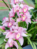 Beautiful pink phalaenopsis orchids Stock Images