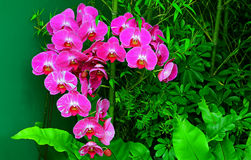 Beautiful pink phalaenopsis orchids in tropical garden Stock Photo