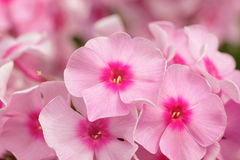 Beautiful pink phlox Stock Photography