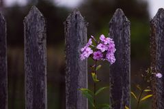 Beautiful pink Phlox on the background of a gray village fence. Branch pink Phlox in the village. Flowers stock image