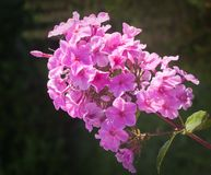 Beautiful pink phlox covered with dew Stock Photo