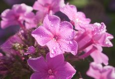 Beautiful pink phlox covered with dew Royalty Free Stock Photo