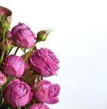 Beautiful pink pion-shaped rose. Bouquet Shrub roses on white background. Beautiful pink pion-shaped rose. .Bouquet Shrub roses on white background stock photos