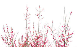 Beautiful pink plum flowers in spring Stock Photos