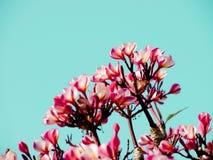 Beautiful pink Plumeria Stock Image